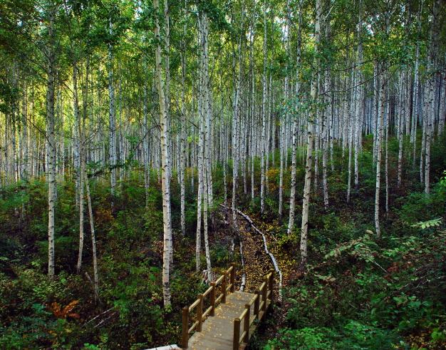 2. 인제 원대리 자작나무 숲.jpg